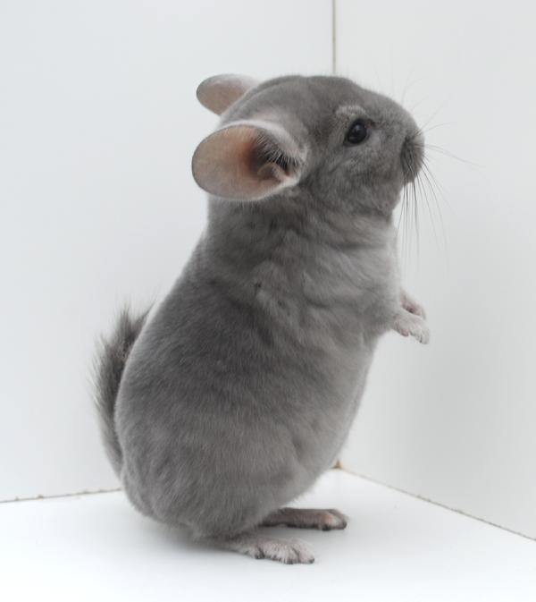 White ebony chinchilla