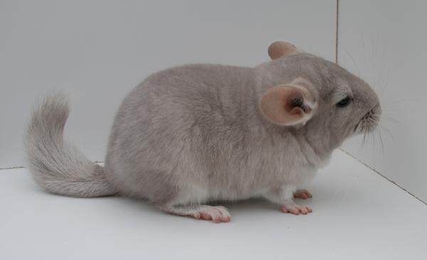 Quality Mutation Chinchillas