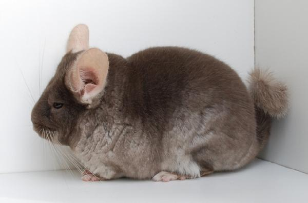 Brown Velvet Chinchilla